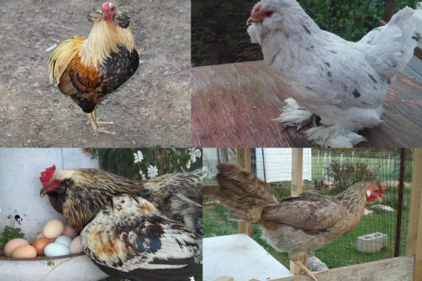 Top 4 Chicken Breeds to Raise for Blue Eggs (Up To 300 Per Year)