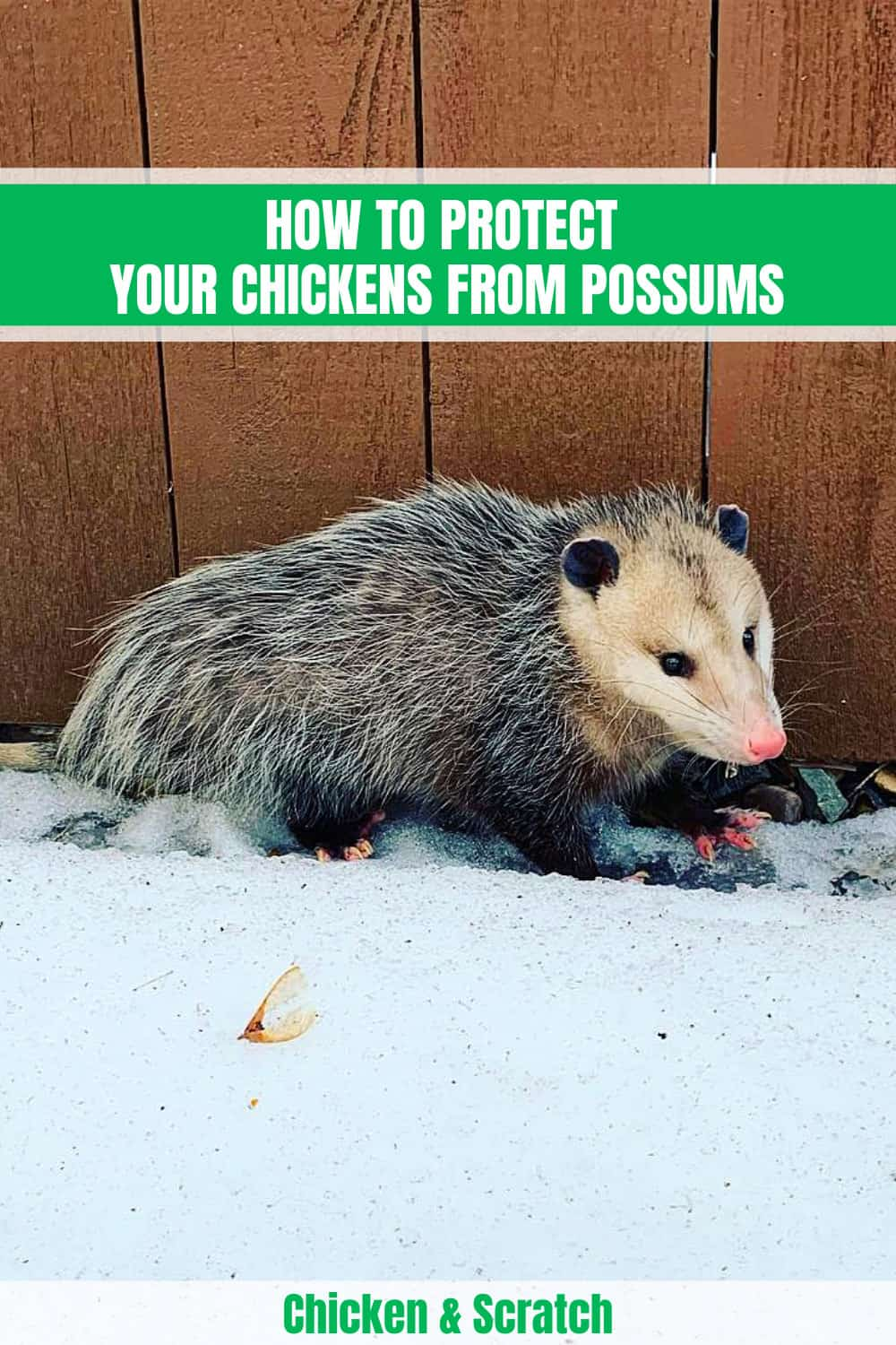 do possums eat chickens