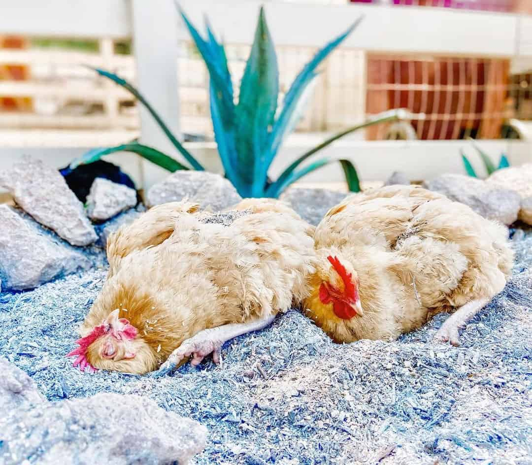 dust bath for chickens