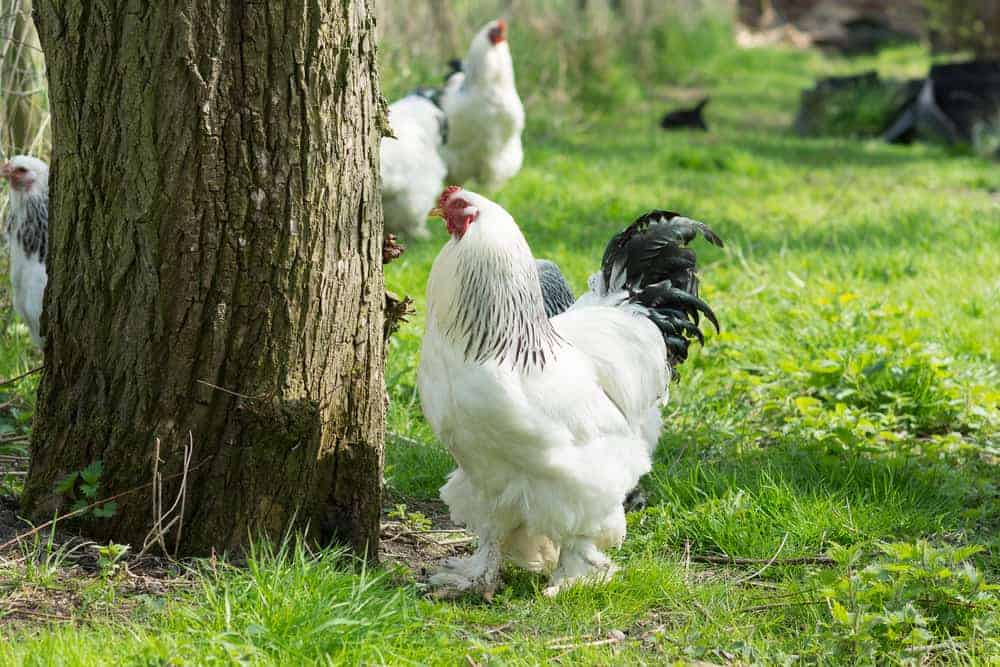 extra large chicken breeds