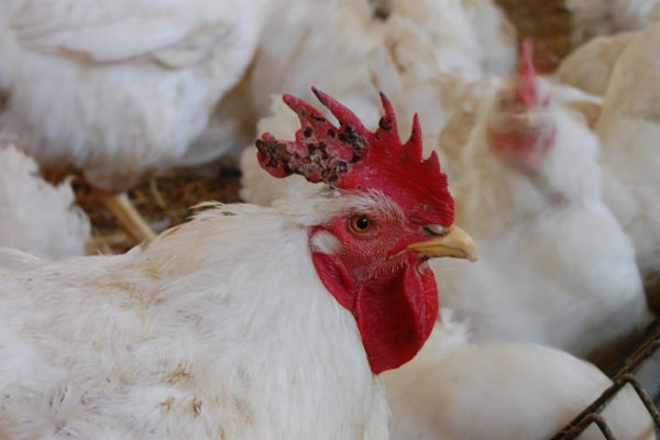 Fowl Pox in Chickens: Cause, Treatment and Prevention