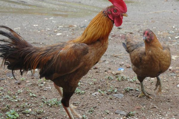 How to Tell a Rooster From a Hen: Difference Between