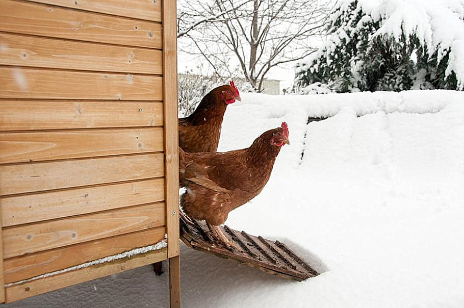 keeping chicken water from freezing