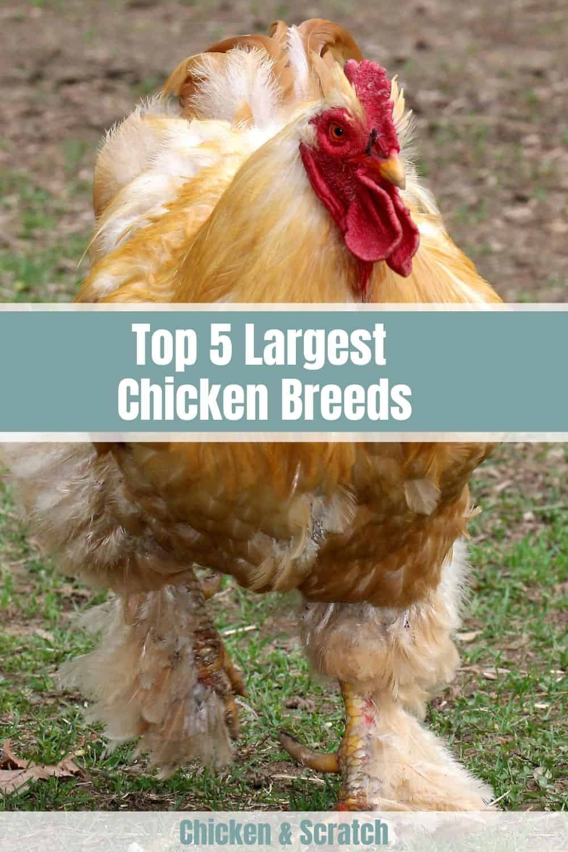 largest chicken breeds