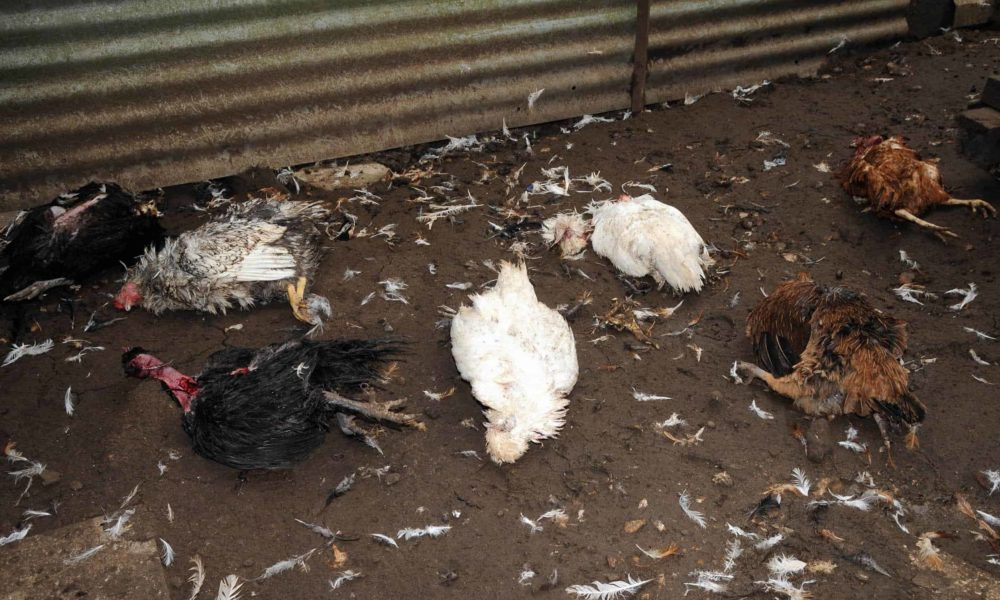 protecting chickens from hawks