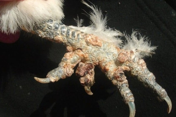Scaly Leg Mites in Chickens: Cause, Treatment and Prevention