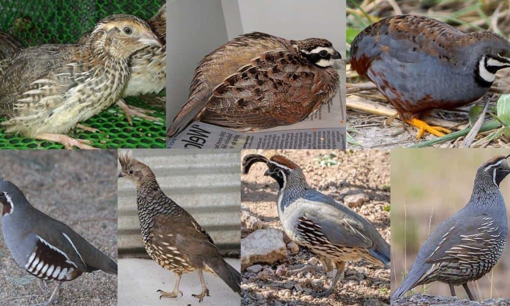 types of quail