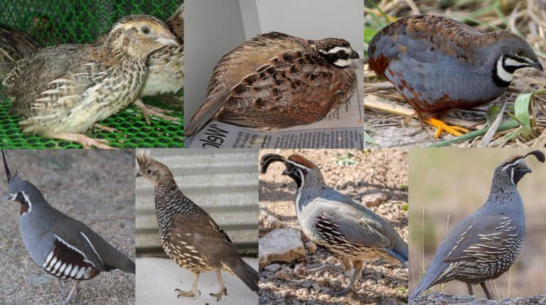 types of quail