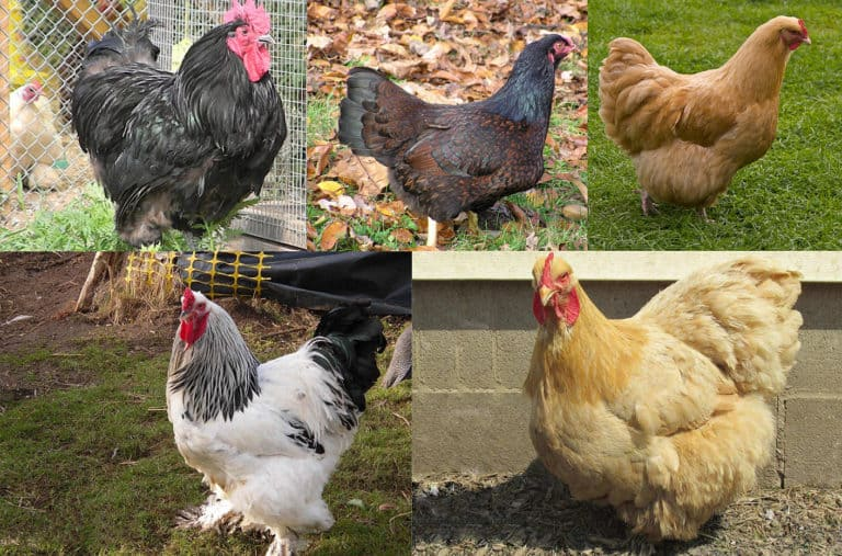 what is the largest breed of chicken