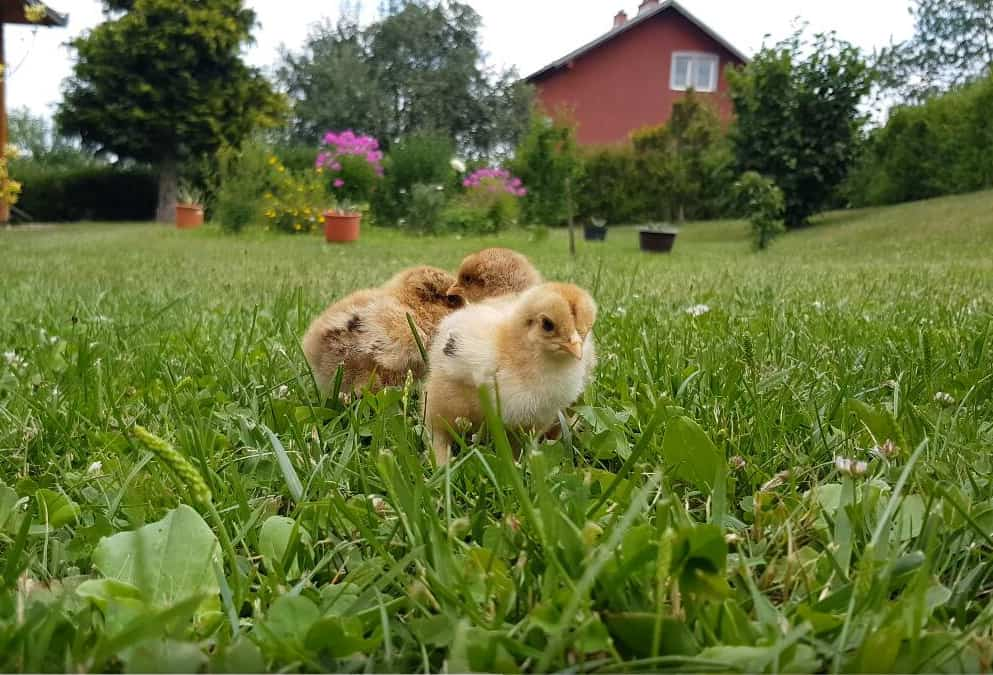 when can chicks move outside