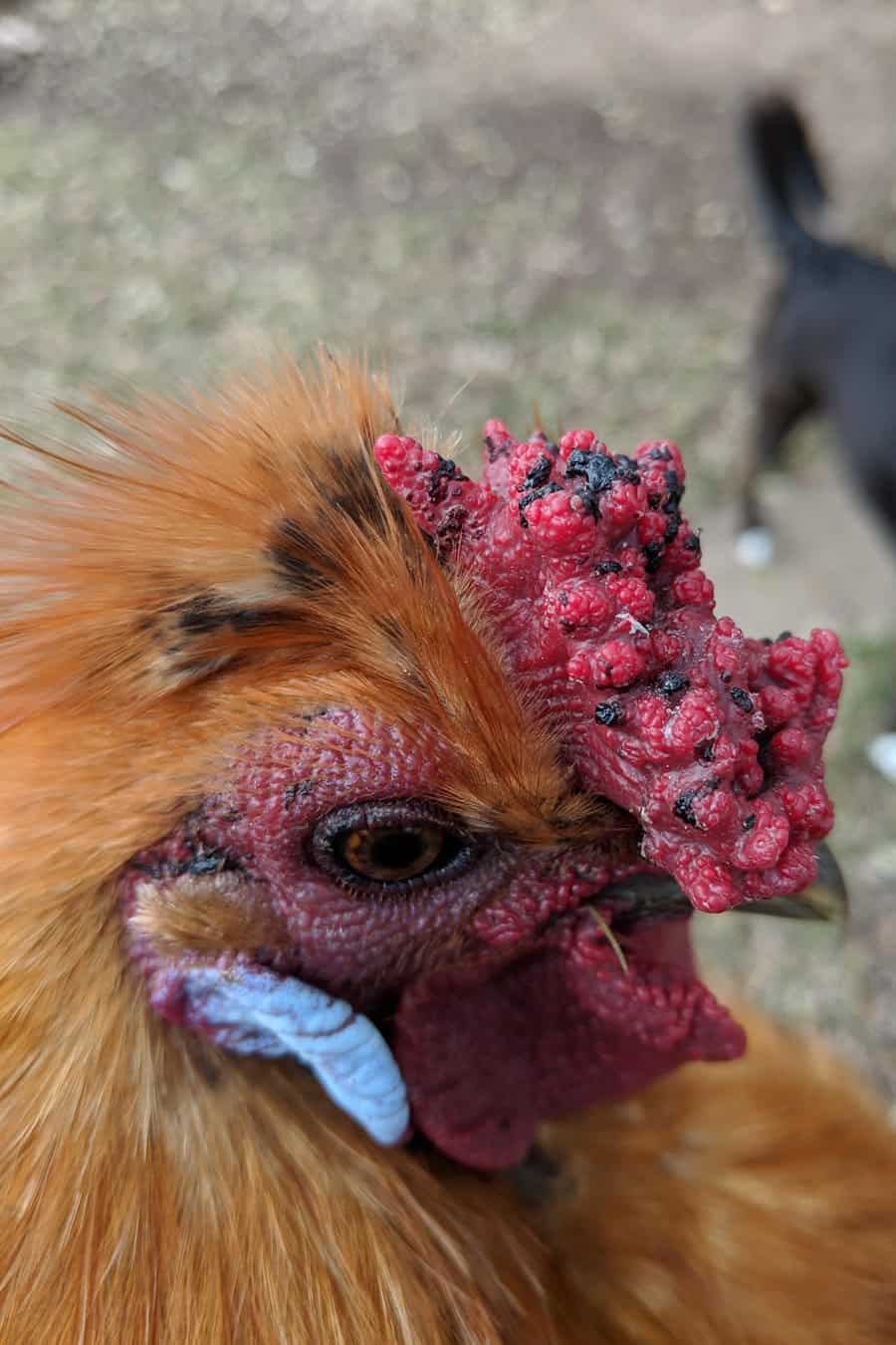why do chickens have combs
