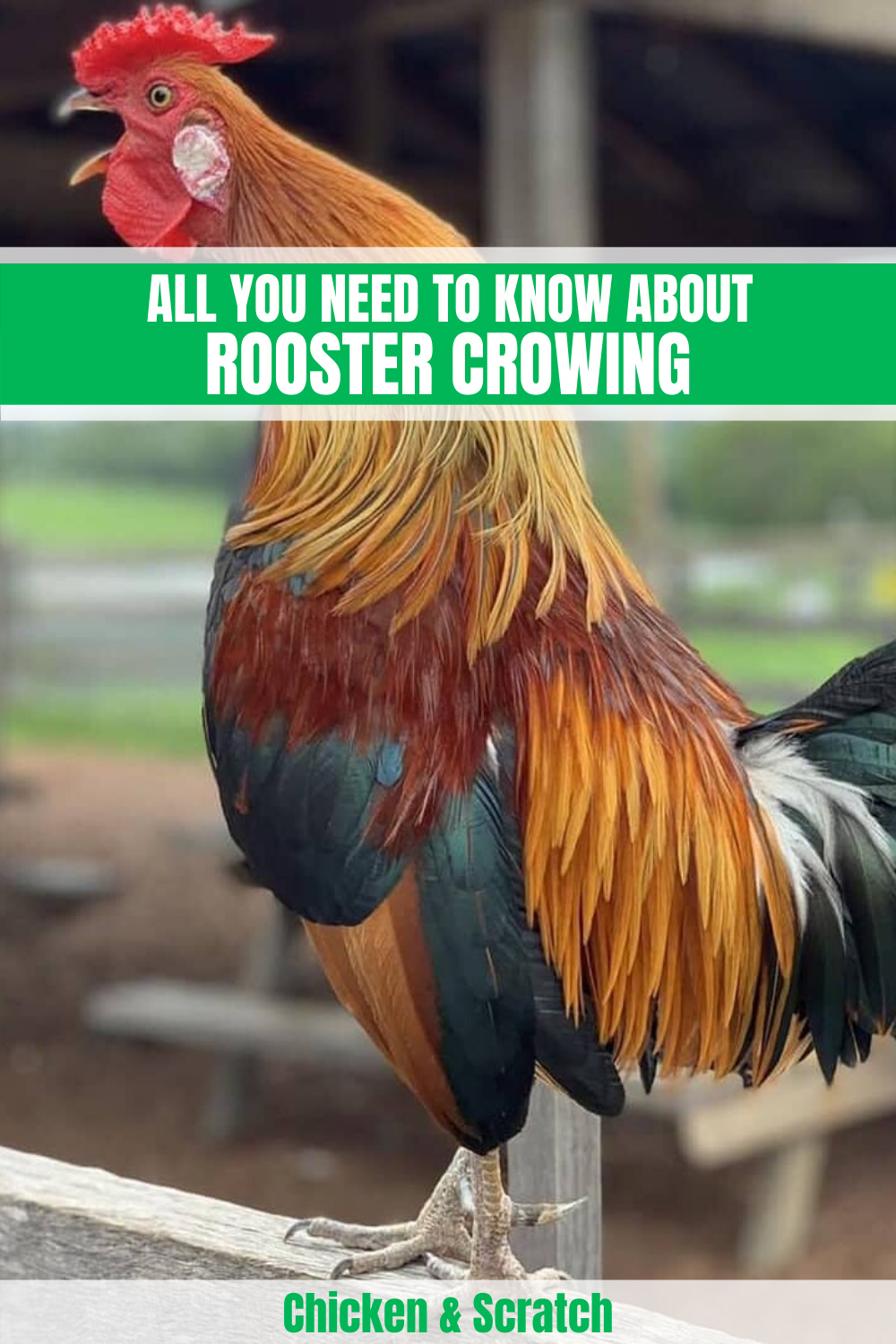 Why Do Roosters Crow