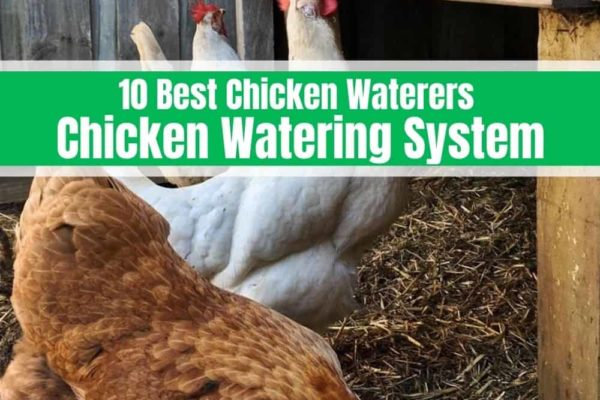10 Best Chicken Waterers 2020 – Chicken Watering System Reviews