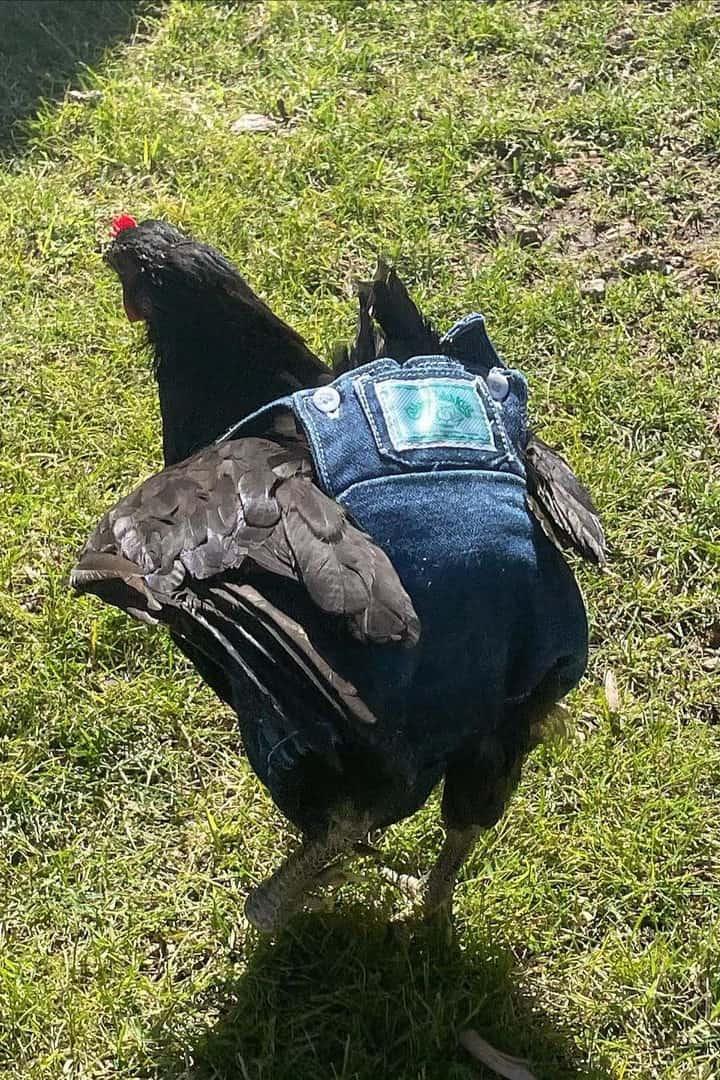 best pet chicken breeds