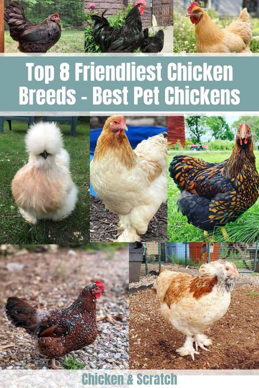 friendly chicken breeds