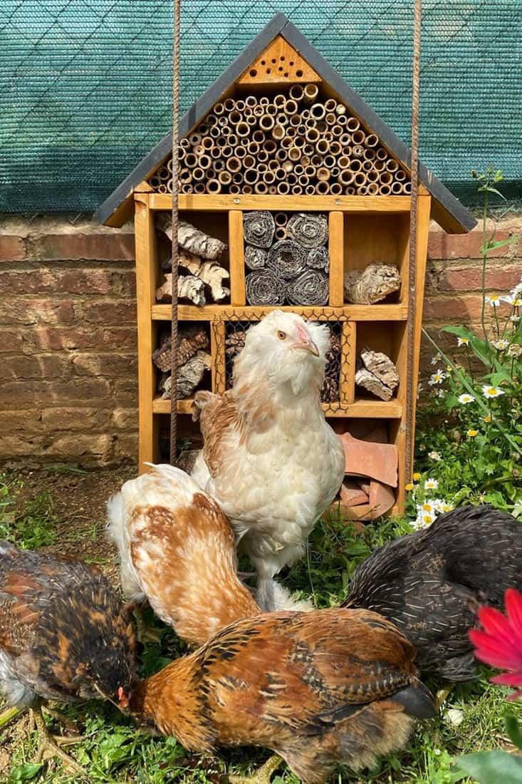 most friendly chicken breeds