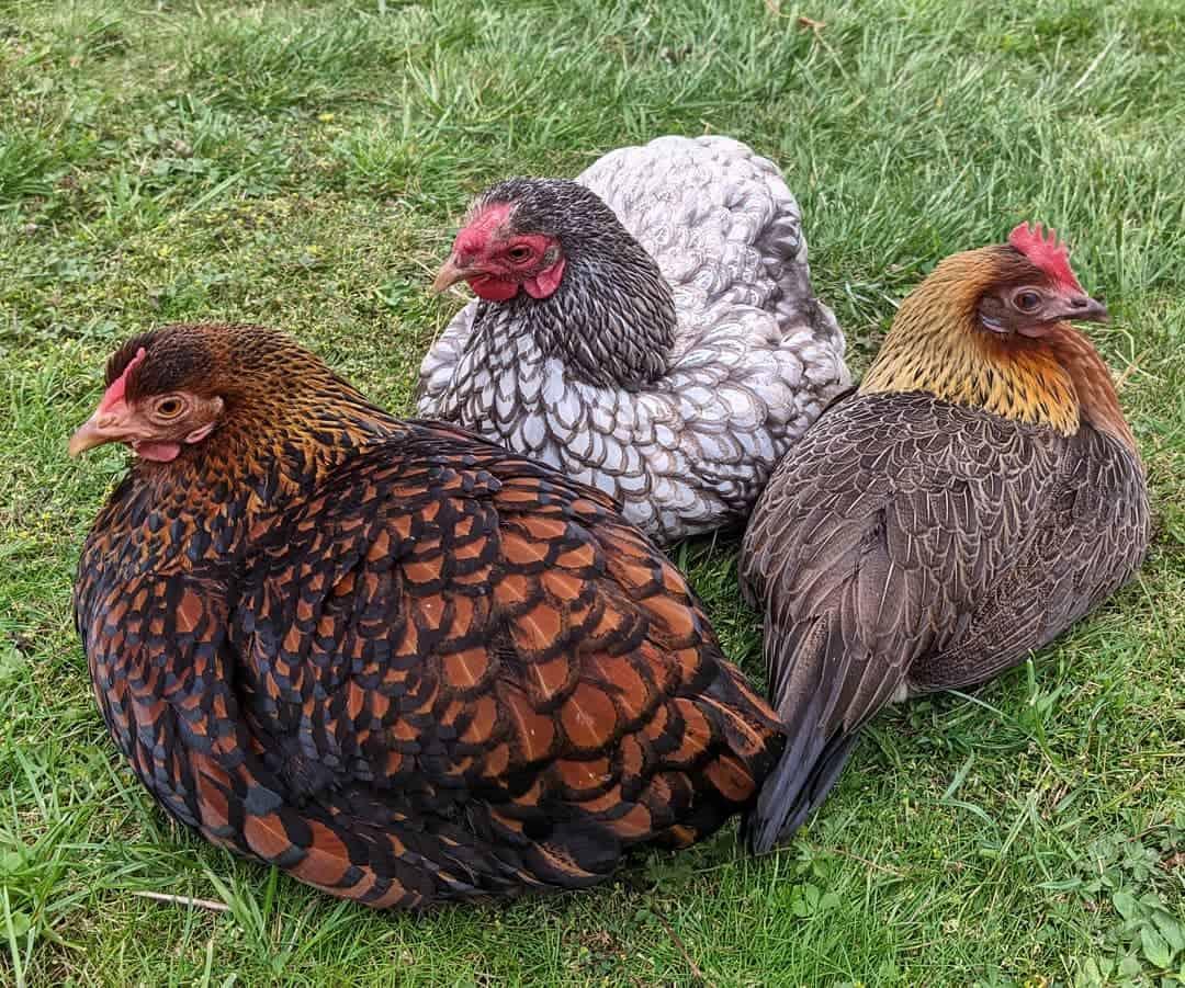 pet chicken breeds