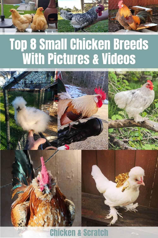 small chicken breeds