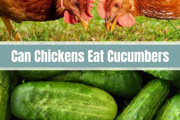 Can Chickens Eat Cucumbers?
