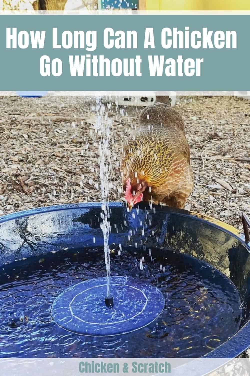 How Long Can A Chicken Go Without Water