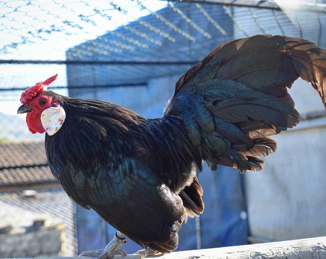 Rosecomb Bantam chicken