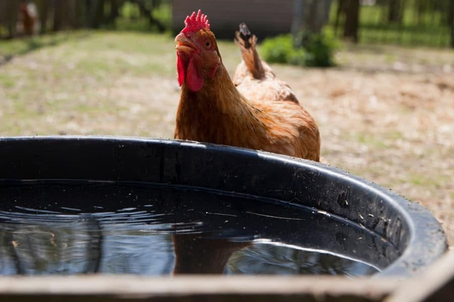 Tips for Giving Water to Chickens