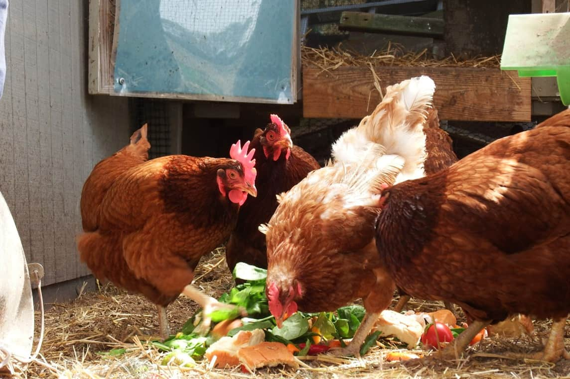 What Food Scraps Can Chickens Eat