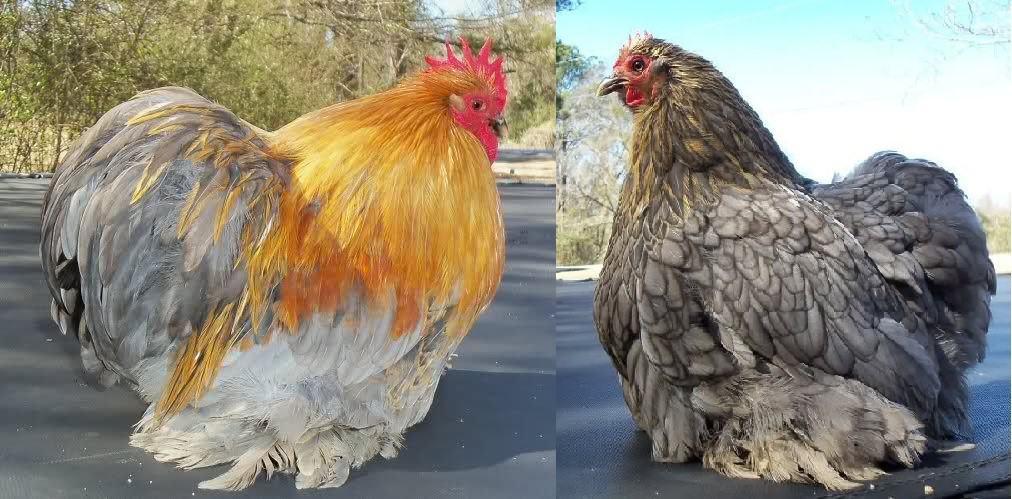 best show chicken