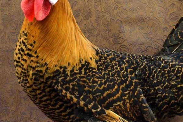 Campine Chicken: Eggs, Temperament, Size and Raising Tips