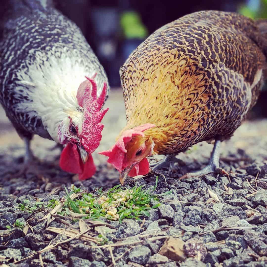 campine chickens