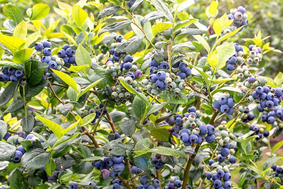 can birds eat blueberries