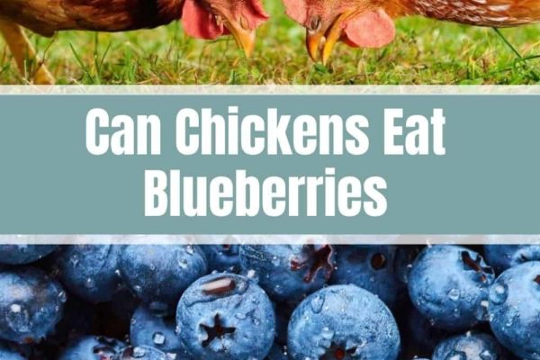 Can Chickens Eat Blueberries?