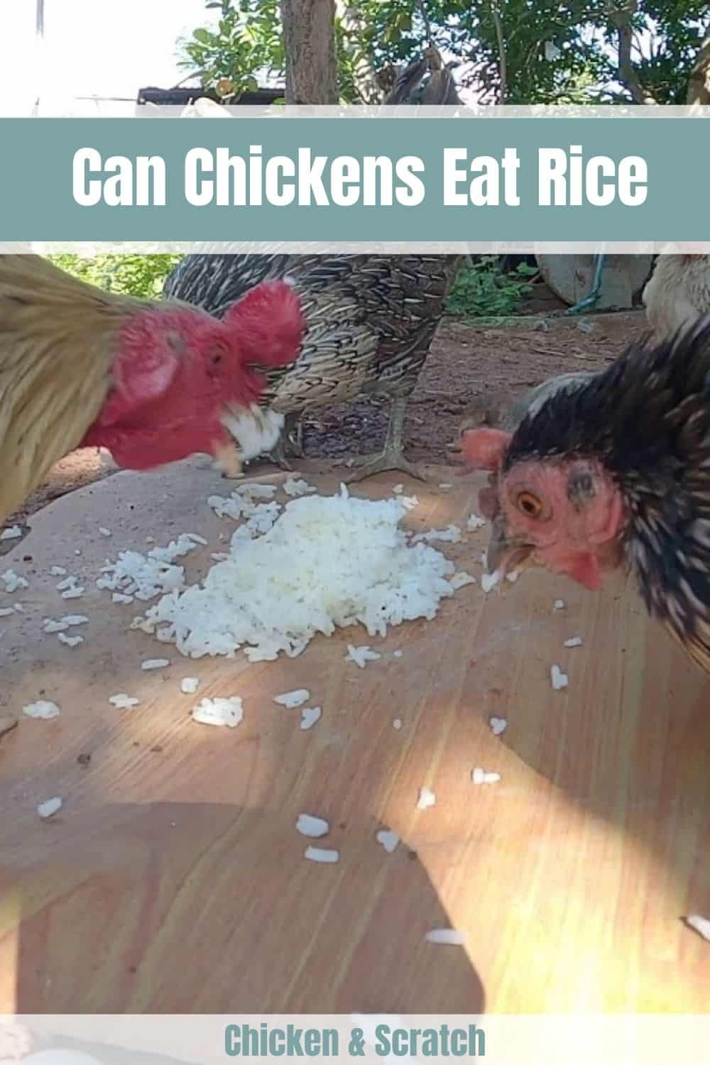can chickens eat rice