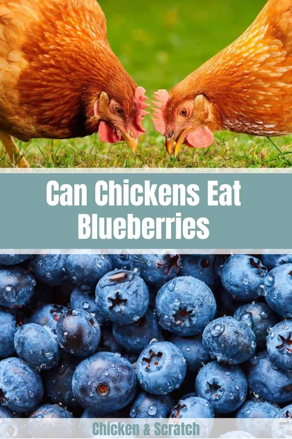 can chickens have blueberries