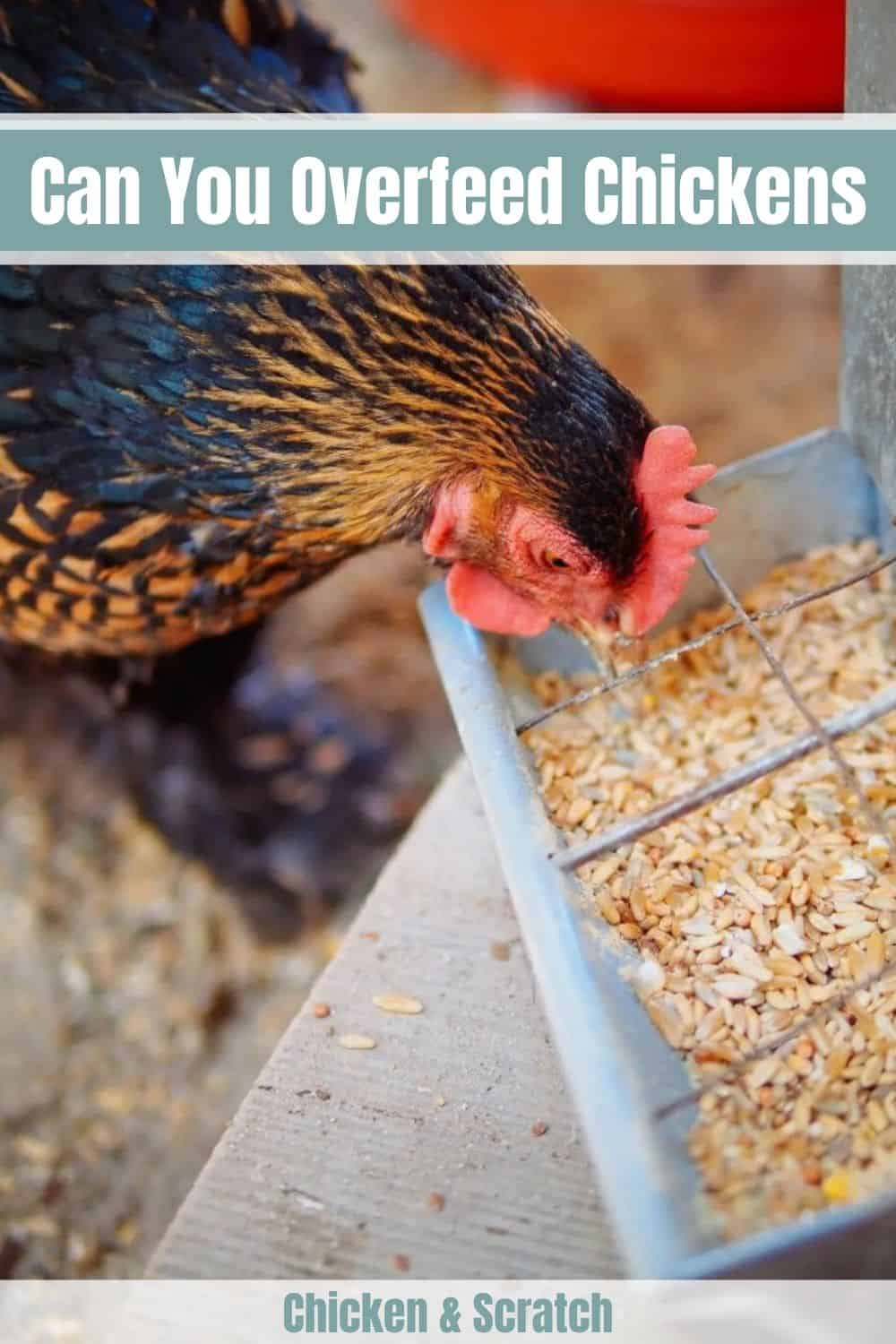 can you overfeed chickens