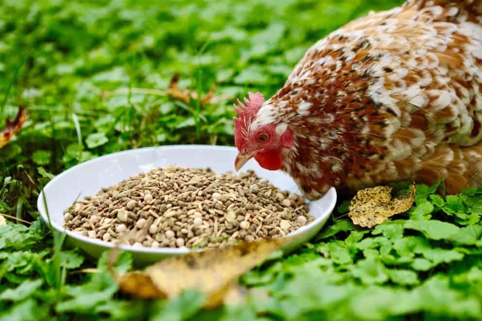 chichen eat Sunflower seeds
