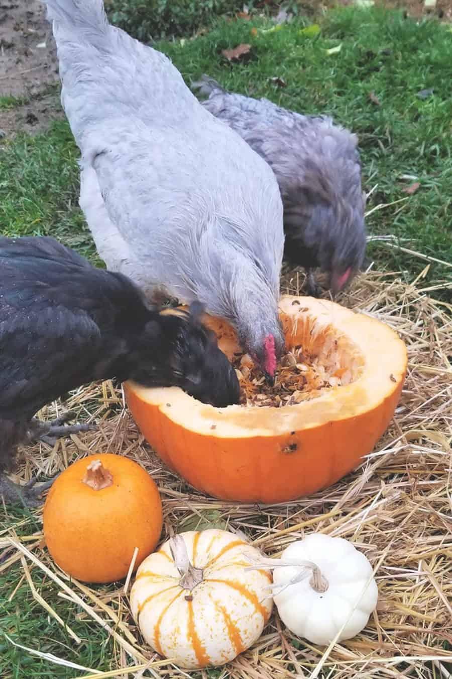 chicken eat Pumpkin