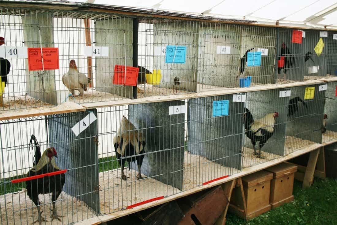 chicken shows