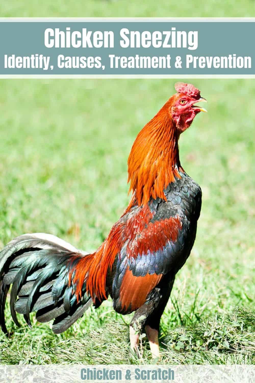 chicken sneezing