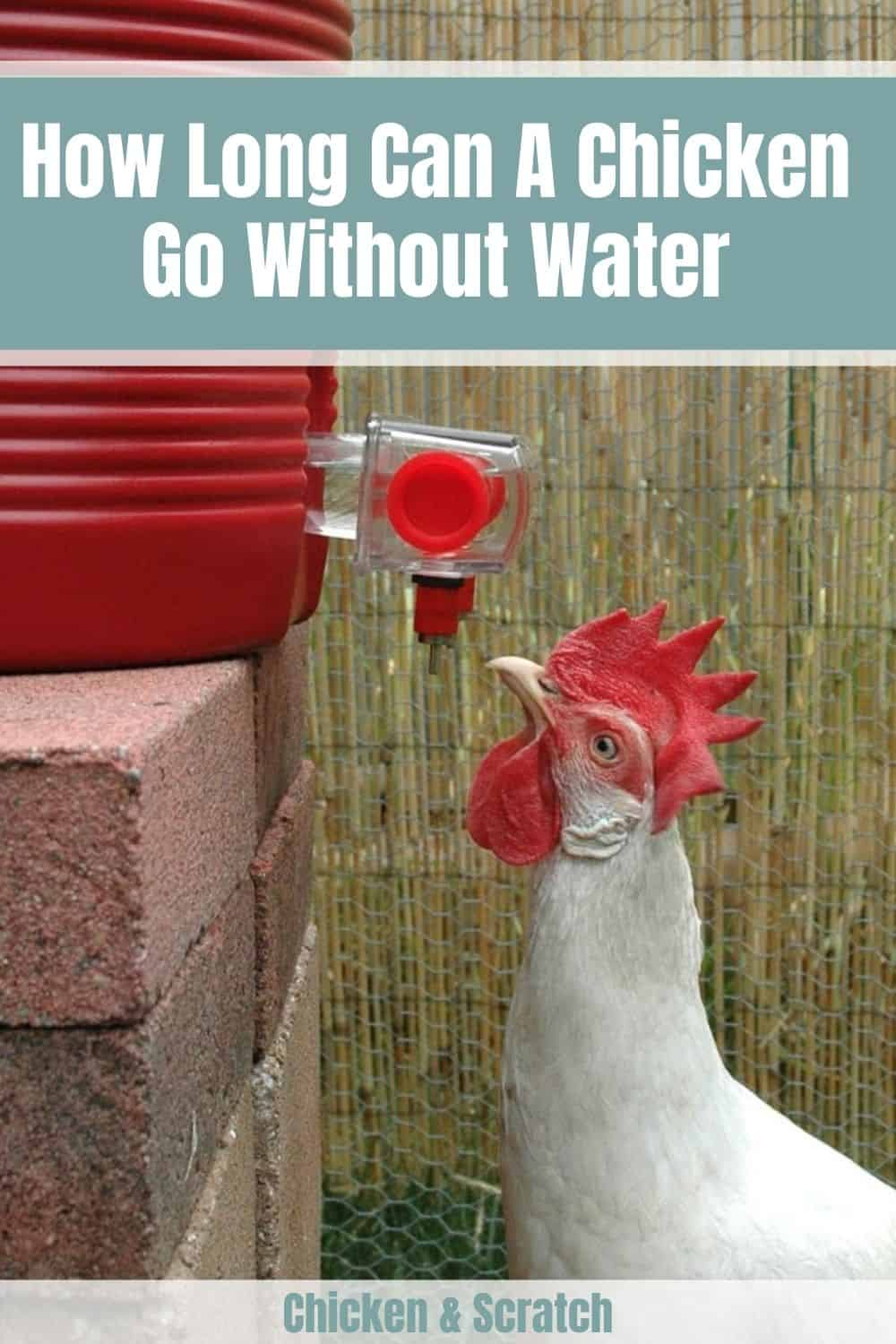 chicken without water