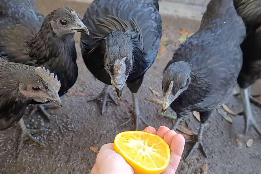 chickens eat oranges