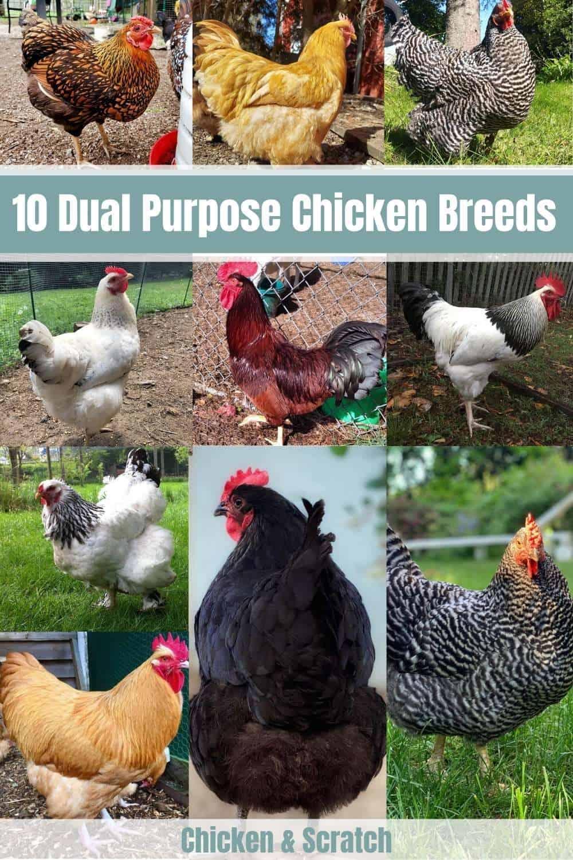 dual purpose chickens
