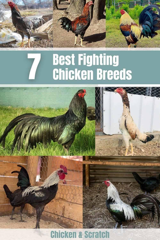 fighting chicken breeds
