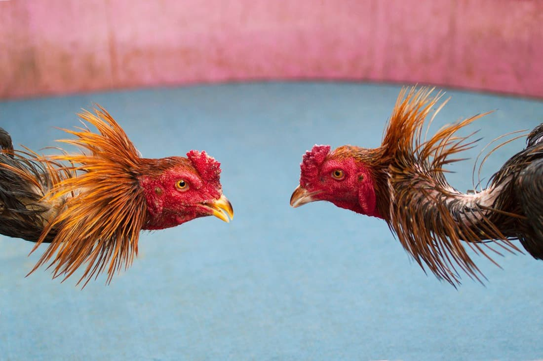 game fowl roosters
