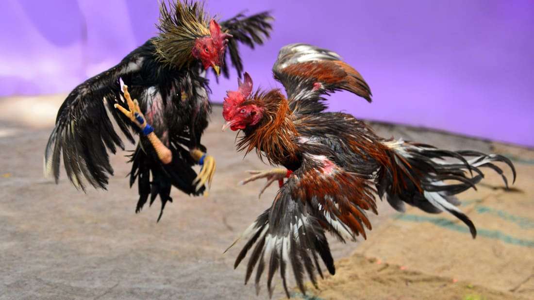game fowls breed