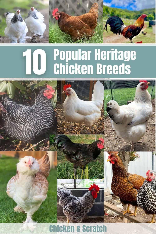 heritage chicken breeds