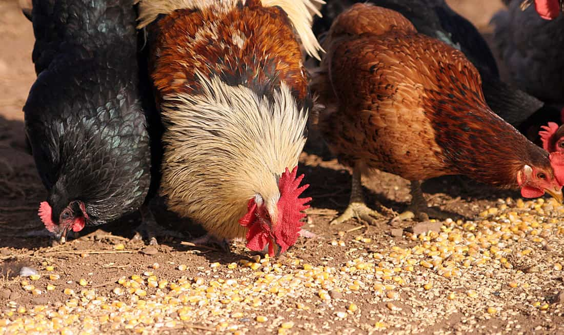 how often should chickens be fed