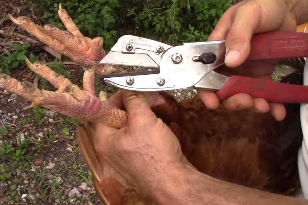remove rooster spurs