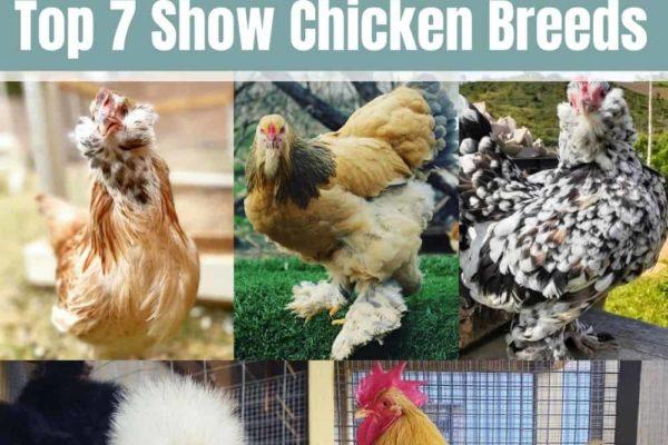 7 Stunning Show Chicken Breeds: Best Fowls for Showmanship