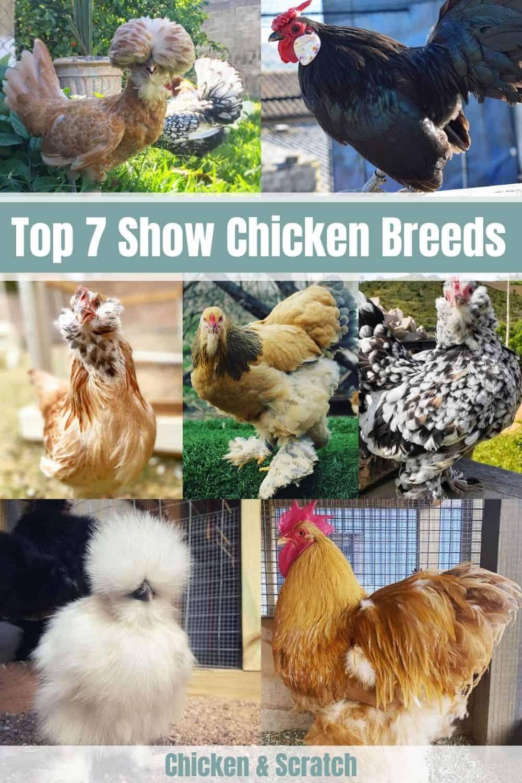 show chicken breeds